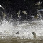 chi-asian-carp-aj-ct0020098091-20130925